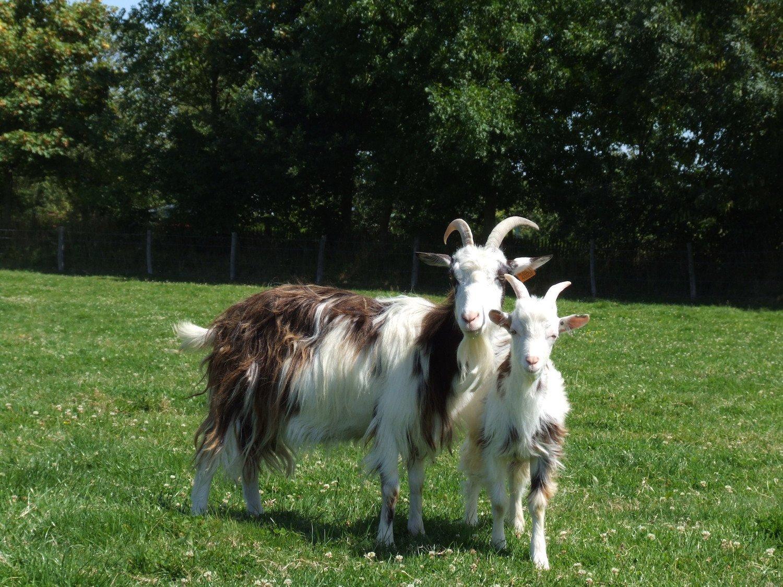Chèvres des Fossés