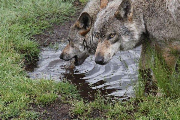 Loups en Bretagne