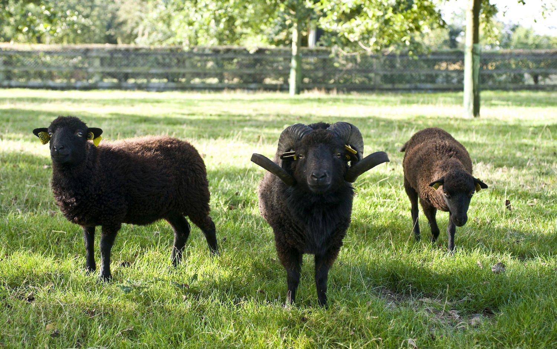 Moutons d'Ouessant à l'Ecomusée du pays de Rennes