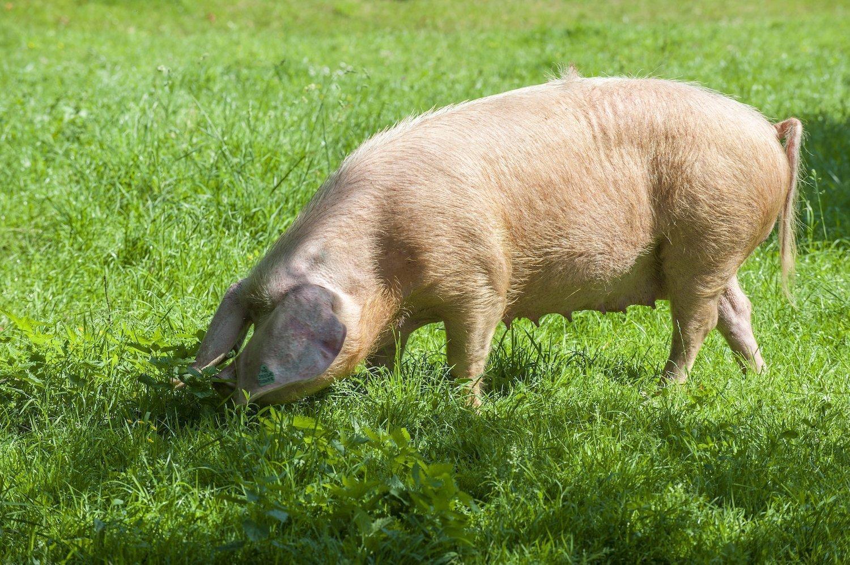 Porc Blanc de l'Ouest