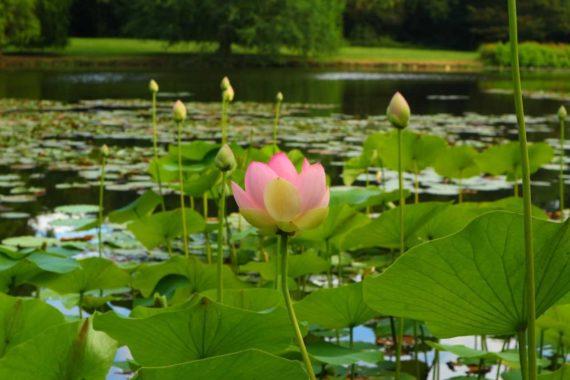 Visite si le lotus m'était conté au Gayeulles