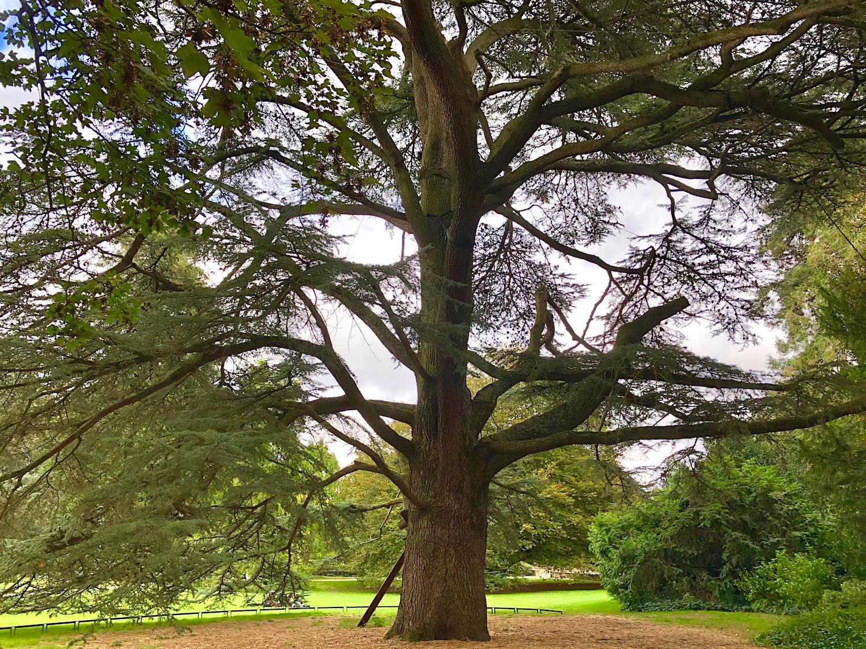 The Thabor Park Atlas cedar