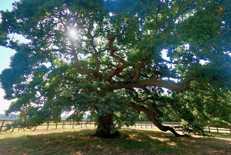 The La Prévalaye oak tree