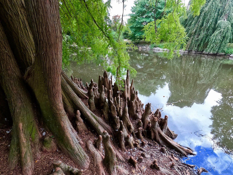 The bald cypress of the Oberthür Park