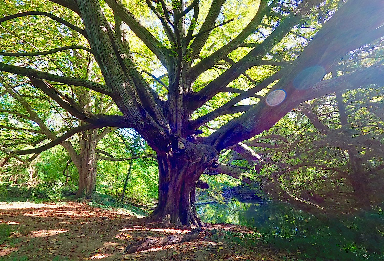The trio of chestnut trees of Thorigné-Fouillard
