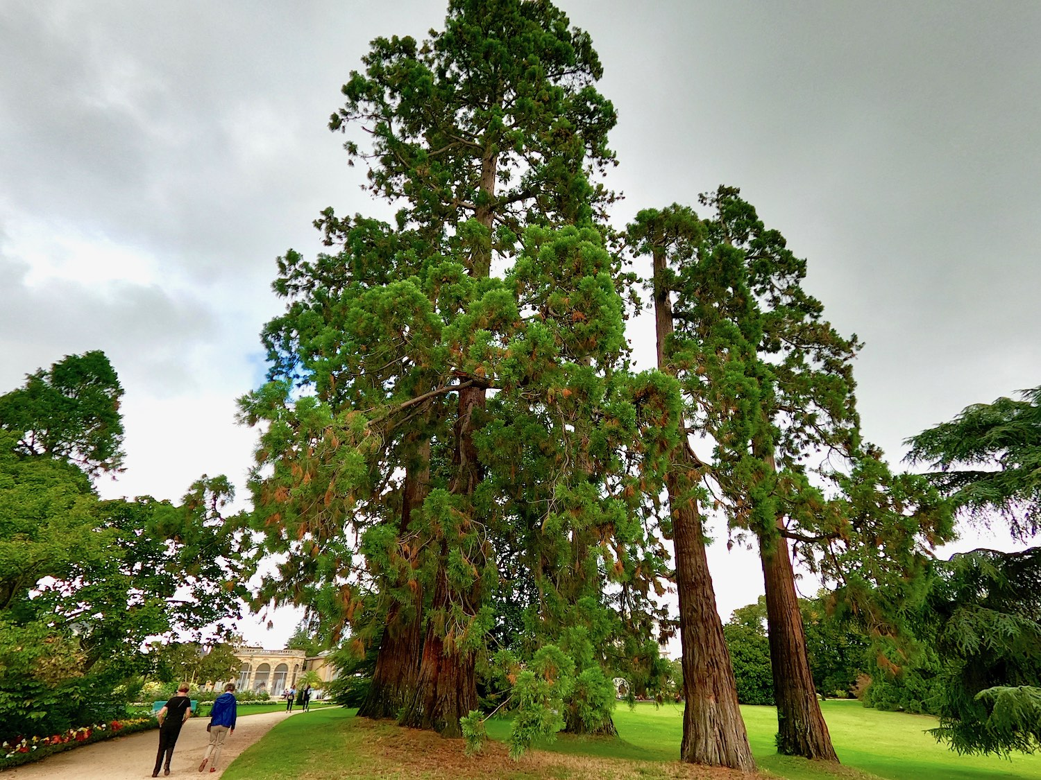 The 5 giant redwoods of the Parc du Thabor